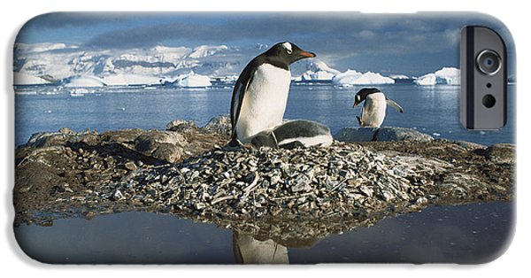 Wildlife Disasters iPhone Cases - Gentoo Penguin Pygoscelis Papua Parent iPhone Case by Gerry Ellis