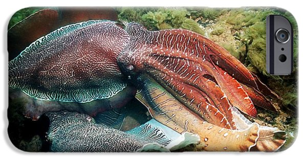 Aquatic Display iPhone Cases - Giant Cuttlefish Males Fighting iPhone Case by Georgette Douwma