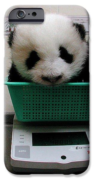 Giant Panda Ailuropoda Melanoleuca Baby iPhone Case by Katherine Feng