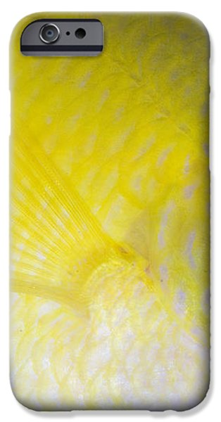 Golden Damsel Close-up, Papua New iPhone Case by Steve Jones