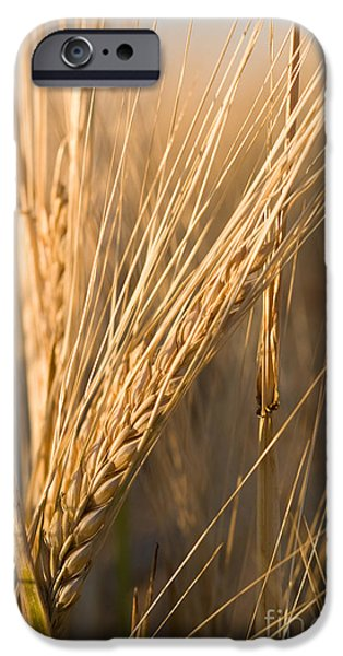 Daydreams Art Photographs iPhone Cases - Golden Grain iPhone Case by Cindy Singleton