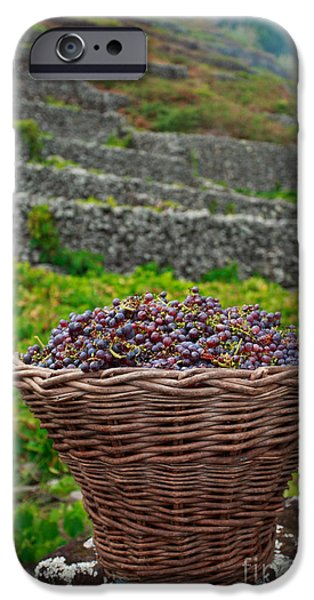 Grape harvest iPhone Case by Gaspar Avila