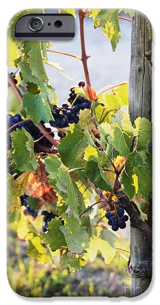 Chianti Landscape iPhone Cases - Grapes on Vine iPhone Case by Jeremy Woodhouse