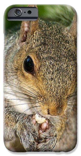 Sciurus Carolinensis iPhone Cases - Gray squirrel iPhone Case by Fabrizio Troiani