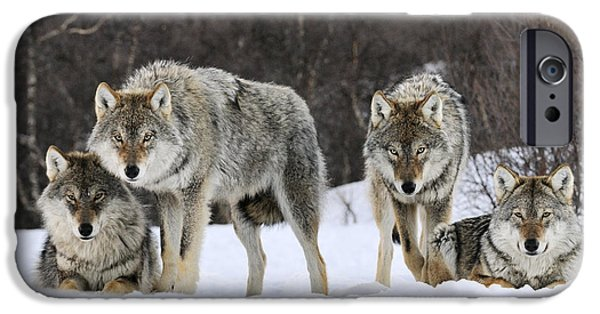 Animalsandearth iPhone Cases - Gray Wolf Canis Lupus Group, Norway iPhone Case by Jasper Doest