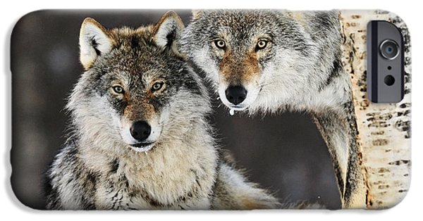 Wolf Image iPhone Cases - Gray Wolf Canis Lupus Pair In The Snow iPhone Case by Jasper Doest