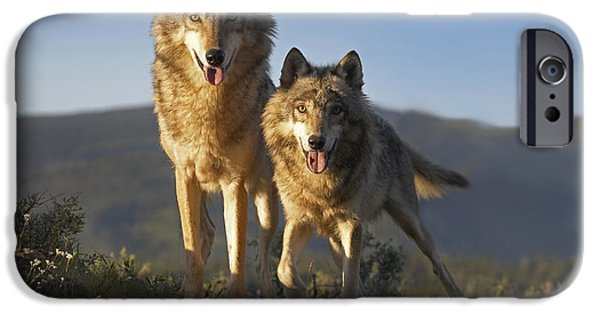 Wolf Image iPhone Cases - Gray Wolf Canis Lupus Pair Standing iPhone Case by Tim Fitzharris