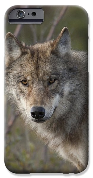 Wolf Image iPhone Cases - Gray Wolf Canis Lupus Portrait, Alaska iPhone Case by Michael Quinton