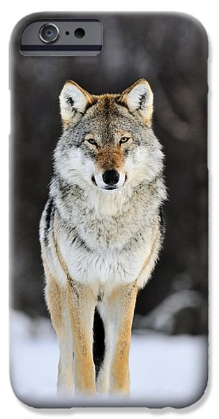 Wolf Image iPhone Cases - Gray Wolf Canis Lupus Standing iPhone Case by Jasper Doest