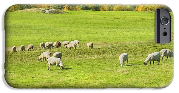 Grazing Sheep iPhone Cases - Grazing Sheep On Farm In Autumn Maine iPhone Case by Keith Webber Jr