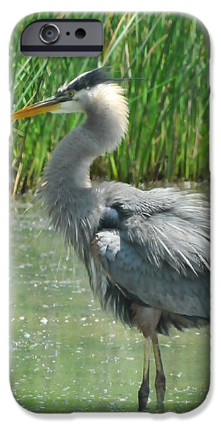 Great Blue Heron iPhone Case by Paul Ward