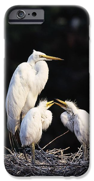 Baby Bird iPhone Cases - Great Egret In Nest With Young iPhone Case by Natural Selection David Ponton