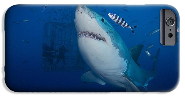 Fish Photographs iPhone Cases - Great White Shark And Pilot Fish iPhone Case by Todd Winner