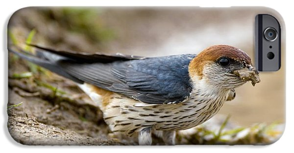 Hirundo iPhone Cases - Greater Striped Swallow iPhone Case by Peter Chadwick