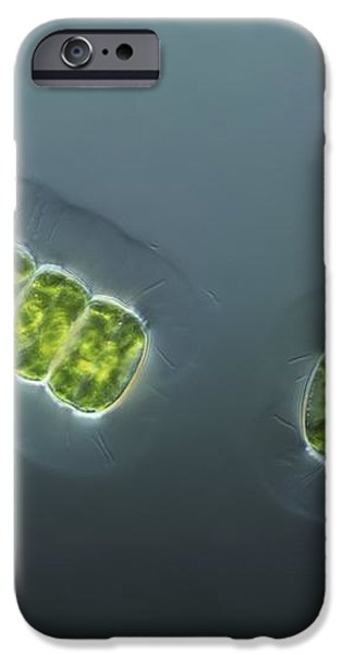 Green Algae, Light Micrograph iPhone Case by Frank Fox