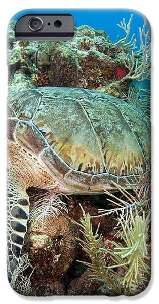 Green Sea Turtle On Caribbean Reef iPhone Case by Karen Doody