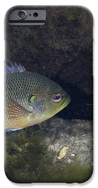 Green Sunfish Swimming Along The Rocky iPhone Case by Michael Wood