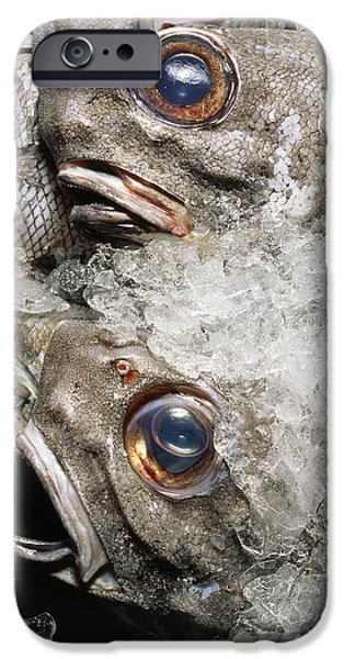 Resilience iPhone Cases - Grenadier Fish Packed In Ice After Being Caught iPhone Case by Sinclair Stammers