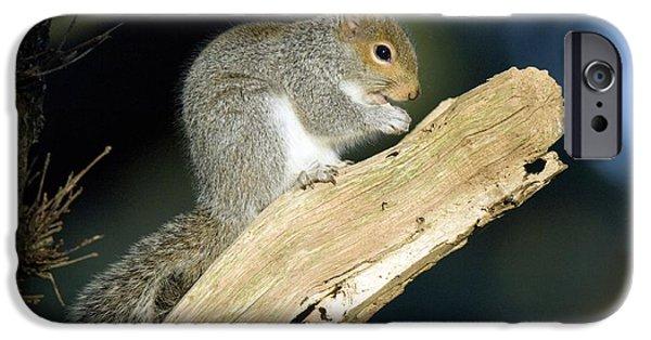 Sciurus Carolinensis iPhone Cases - Grey Squirrel Feeding iPhone Case by Duncan Shaw
