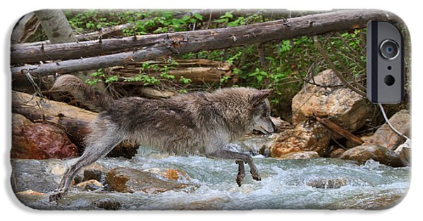 Wolf Photographs iPhone Cases - Grey wolf crossing a mountain stream iPhone Case by Louise Heusinkveld