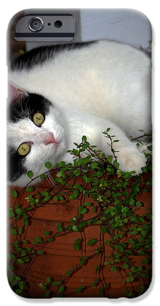 Pictures Of Cats Photographs iPhone Cases - Growing A Kitten iPhone Case by Skip Willits