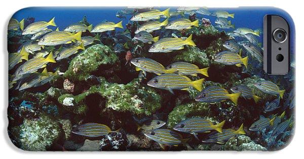 Grunts iPhone Cases - Grunt School Along Coral Reef Cocos iPhone Case by Flip Nicklin