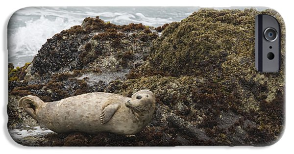Point Lobos State iPhone Cases - Harbor Seal  Point Lobos State Reserve iPhone Case by Sebastian Kennerknecht