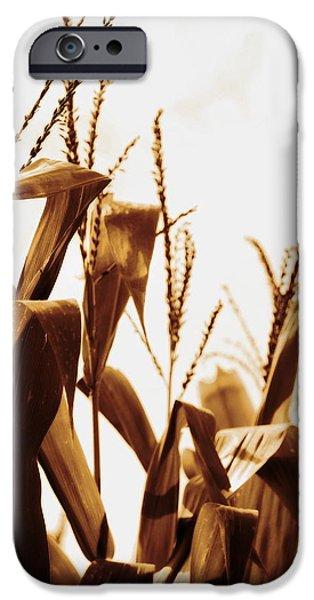 Sweet Corn Farm iPhone Cases - Harvest Corn Stalks - Gold iPhone Case by Angela Rath