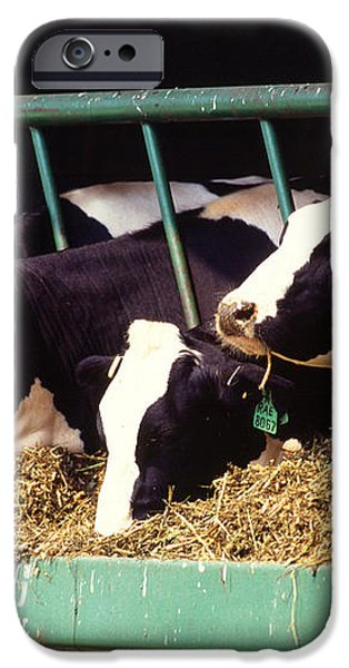 Holstein Dairy Cows iPhone Case by Photo Researchers
