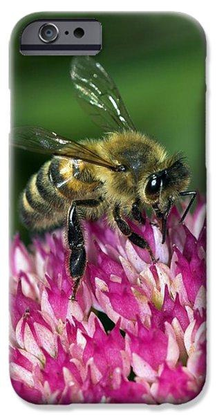Eating Entomology iPhone Cases - Honey Bee Feeding On Sedum Flowers iPhone Case by Colin Varndell