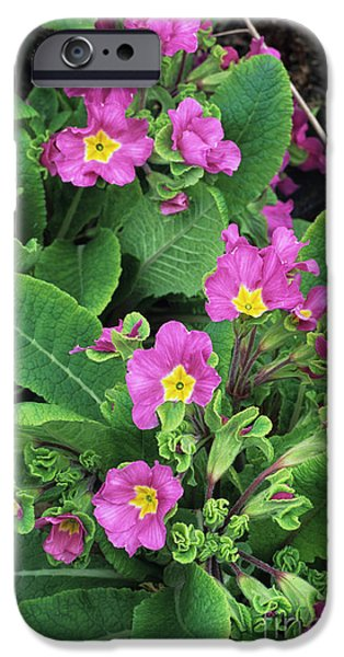 'hose-in-hose' Primroses iPhone Case by Adrian Thomas