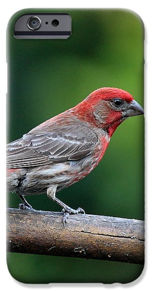 House Finch Bird . 40D8331 iPhone Case by Wingsdomain Art and Photography
