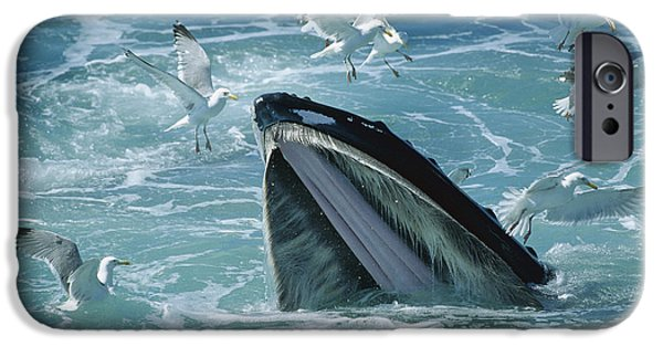 Herring Gull iPhone Cases - Humpback Whale Feeding With Herring iPhone Case by Flip Nicklin