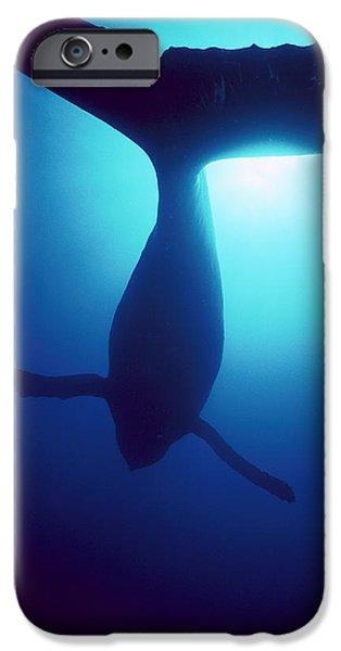 Humpback Whale Megaptera Novaeangliae iPhone Case by Flip Nicklin