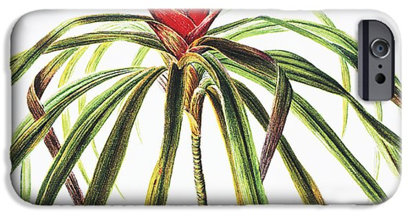 Nature Center Paintings iPhone Cases - Ieie Plant iPhone Case by Hawaiian Legacy Archive - Printscapes