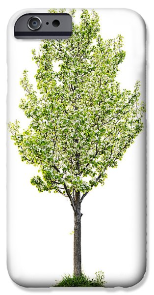 Pears iPhone Cases - Isolated flowering pear tree iPhone Case by Elena Elisseeva