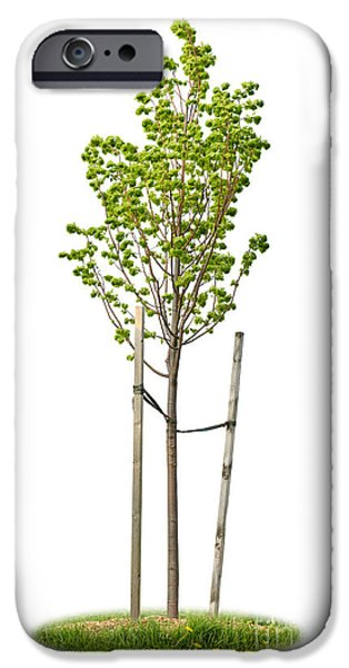 Straps iPhone Cases - Isolated young linden tree iPhone Case by Elena Elisseeva