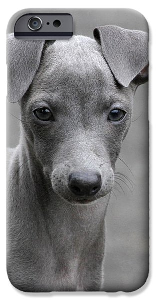 Greyhound Photographs iPhone Cases - Italian Greyhound Puppy 2 iPhone Case by Angie Vogel