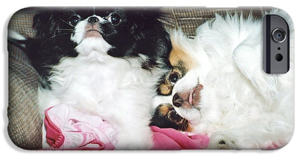 Japanese Chin Puppy iPhone Cases - Japanese Chin Dogs Begging for Treats iPhone Case by Jim Fitzpatrick