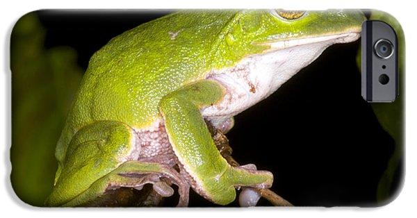 Rhacophorus iPhone Cases - Japanese Rhacophoprid Frog iPhone Case by Dante Fenolio