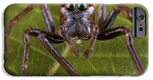 New Individuals iPhone Cases - Jumping Spider Papua New Guinea iPhone Case by Piotr Naskrecki