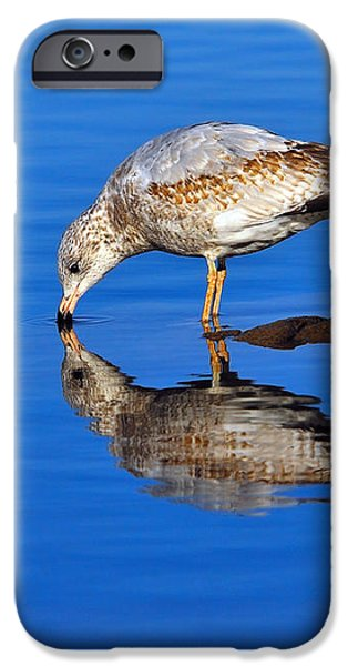 Juvenile Ring-billed Gull  iPhone Case by Tony Beck