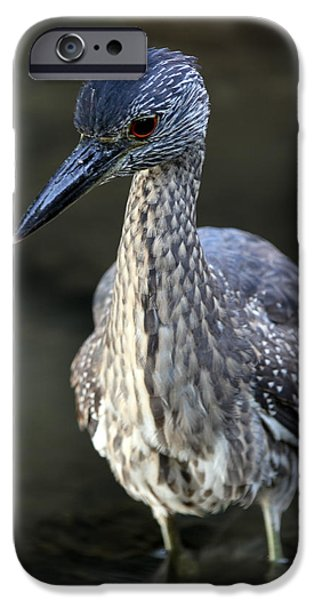 National Preserves iPhone Cases - Juvenile Yellow Crowned Night Heron iPhone Case by Juergen Roth