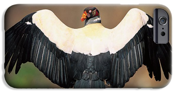 Papa iPhone Cases - King Vulture Sarcoramphus Papa Sunning iPhone Case by Pete Oxford