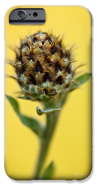 Daisy Bud iPhone Cases - Knapweed plant iPhone Case by Elena Elisseeva