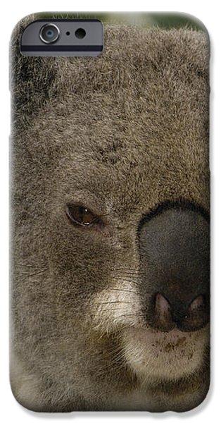 Koala Phascolarctos Cinereus Portrait iPhone Case by Pete Oxford