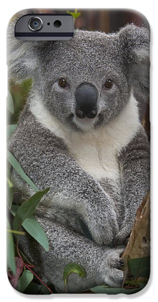 Koala Phascolarctos Cinereus iPhone Case by ZSSD