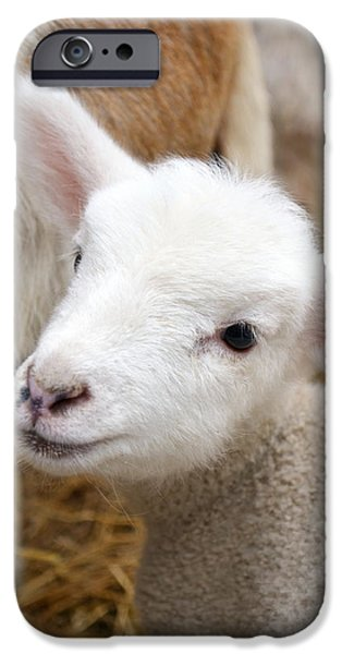 Lamb iPhone Case by Michelle Calkins