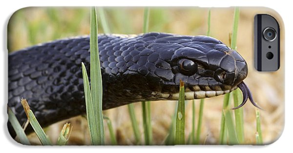 Wild Racers iPhone Cases - Large Whipsnake Coluber jugularis iPhone Case by Alon Meir