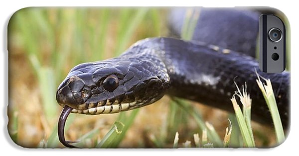 Wild Racers iPhone Cases - Large Whipsnake (coluber Jugularis) iPhone Case by Photostock-israel
